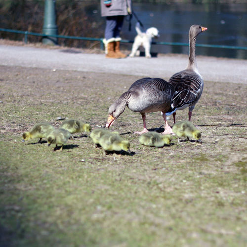 Dog Family Goose Gooses Family Green Little Gooses Park Parklife Sea
