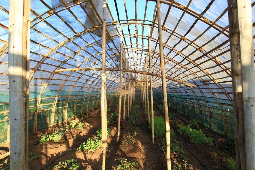 Bamboo Bamboo Bridge Blue Sky Carabao Day Daylight Daytime Farm Farmer Green Greenhouse Plant Seed Trees Vegetable