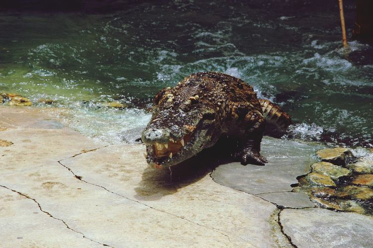 Crocodile Thailand Thailand_allshots Check This Out Hanging Out Cheese! Hello World Taking Photos Photography