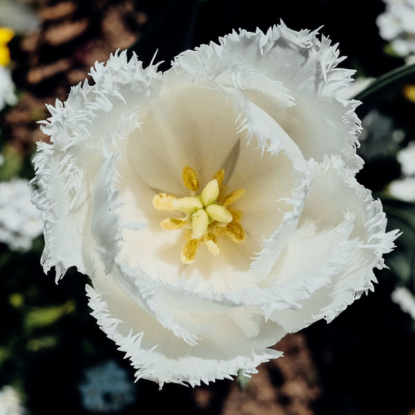 Beauty In Nature Blooming Close-up Day Flower Flower Head Fragility Nature No People Petal Plant White Color