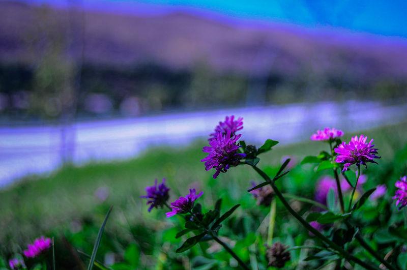 Close-up of purple flowering plants on land