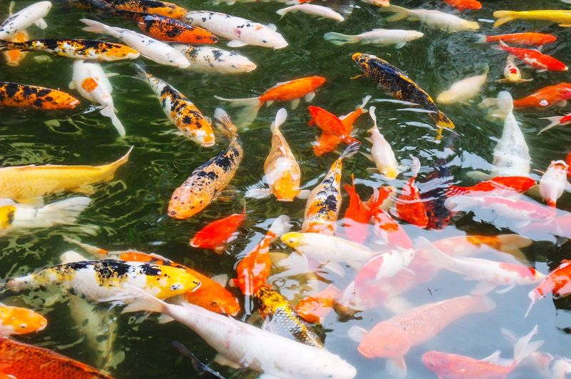 View of fish swimming in pond