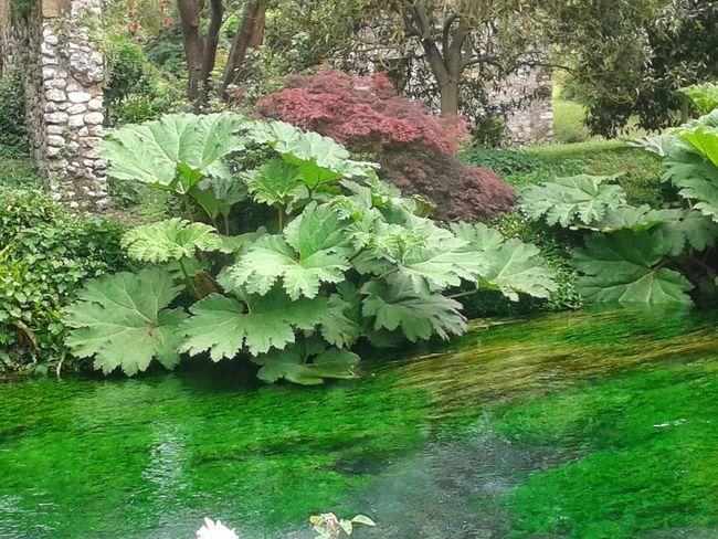 Acquatic plants with large leaves on a river in Italy. Large Leaves Water Plants River Water Beauty In Nature Day Flower Freshness Green Color Growth Nature No People Outdoors Plant Scenics Tranquility Tree Vegetation Water Botanical Spring Water Plant Green Foliage