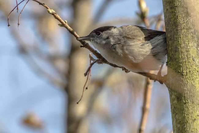 A blackcap is sitting on a branch Nature Singing Sitting Songbird  Sylvia Atricapilla Vantage Point Animals World Anmial Bird Birds Life Birds World Blackcap Branch Branchlet Feather  Feathering Landscape Outdoors Plumage Singingbirds