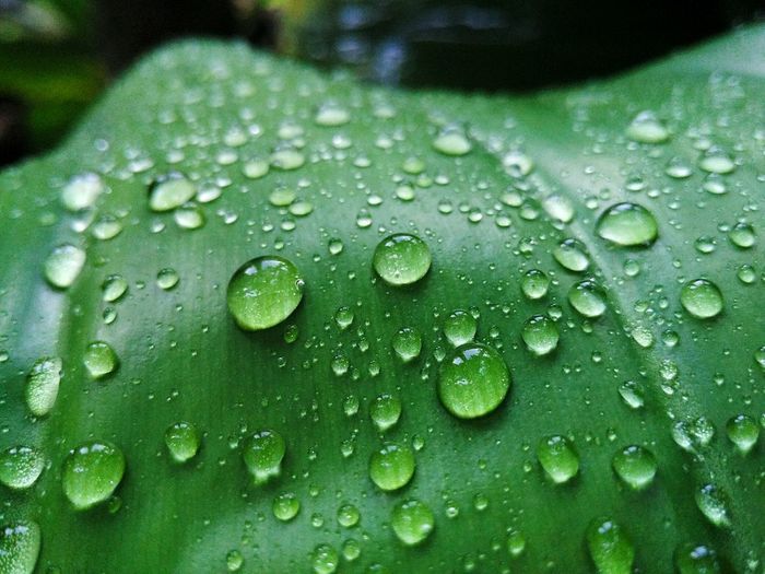 💦 EyeEmNewHere EyeEm Nature Lover Nature Refresh Eye4photography  Droplets Collection After The Rain EyeEm Selects EyeEm Gallery Nature_collection Water Backgrounds RainDrop Full Frame Drop Wet Leaf Close-up Green Color Dew Droplet Plant Life Detail Botany Rainy Season Water Drop Monsoon Rain Leaf Vein Focus