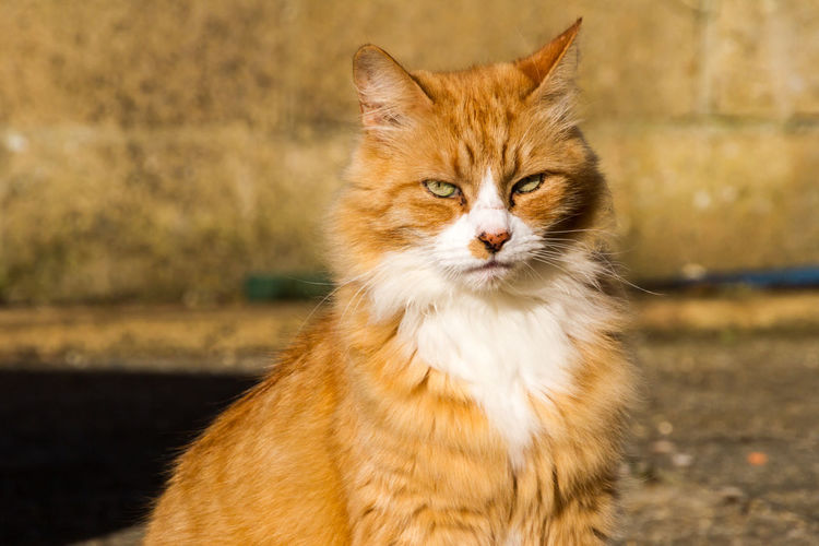 Sulking Ginger Cat Animal Themes Close-up Day Domestic Animals Domestic Cat Feline Ginger Ginger Cat Grumpy Mammal Nature No People One Animal Outdoors Pets Sulking