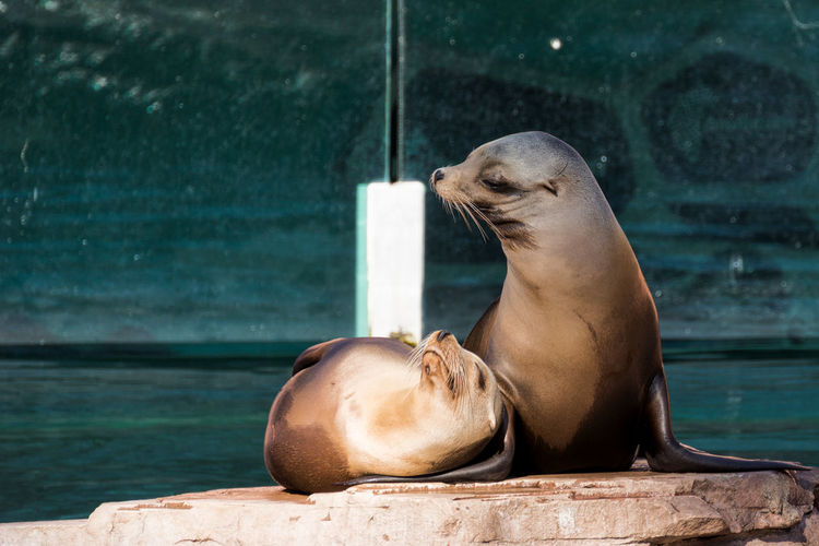 Animal Themes Animal Wildlife Animals In The Wild Aquatic Mammal Care Day Mammal No People Outdoors Sea Sea Life Sea Lion Seal - Animal Water Wet