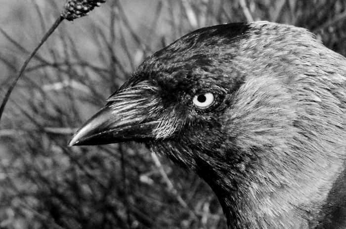 Eye Sinister Creepy Animal Themes Animals In The Wild Beak Bird Close-up Day Focus On Foreground Jackdaw Nature No People One Animal Outdoors Black And White Spooky