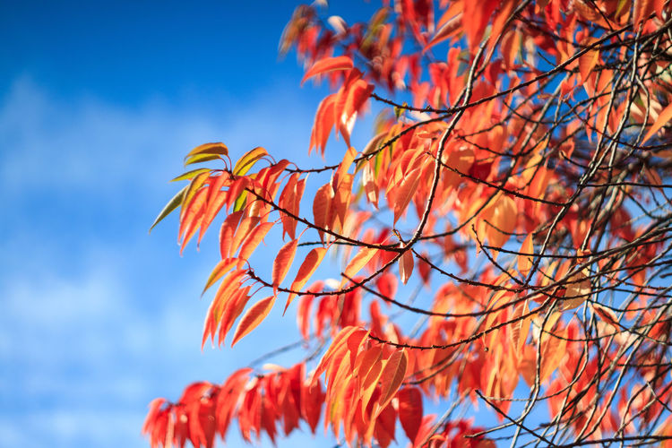 Autumn Beauty In Nature Blue Branch Change Close-up Day Focus On Foreground Growth Low Angle View Nature No People Orange Color Outdoors Plant Red Sky Tranquility Tree