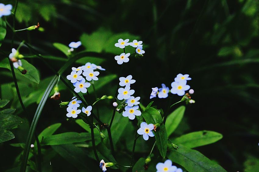 forget-me-nots🔹 Flower Growth Plant Freshness Focus On Foreground Day Blooming Nature No People Green Color Beauty In Nature Fragility Outdoors Leaf Close-up Flower Head Periwinkle Forget Me Not Forest Lovephotography  EyeEm Eyeemphoto EyeEm Nature Lover Eyemphotography Eye4photography