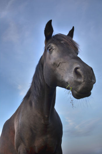Black horse Black Horse Animal Animal Body Part Animal Eye Animal Head  Animal Mouth Animal Themes Close-up Domestic Domestic Animals Horse Horse Eating Livestock Low Angle View Mammal Nature No People One Animal Outdoors Pets Sky Snout Vertebrate