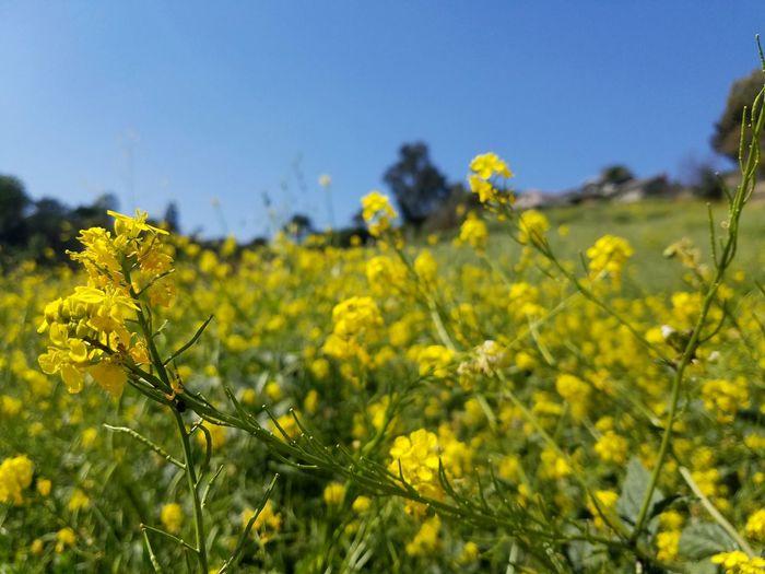 Mustards are in full bloom too Yellow Nature Field Growth Flower Beauty In Nature Mustard Plant Landscape EyeEm Best Shots EyeEm Nature Lover EyeEm Gallery EyeEmBestPics EyeEm Best Shots - Nature Eyeem Market