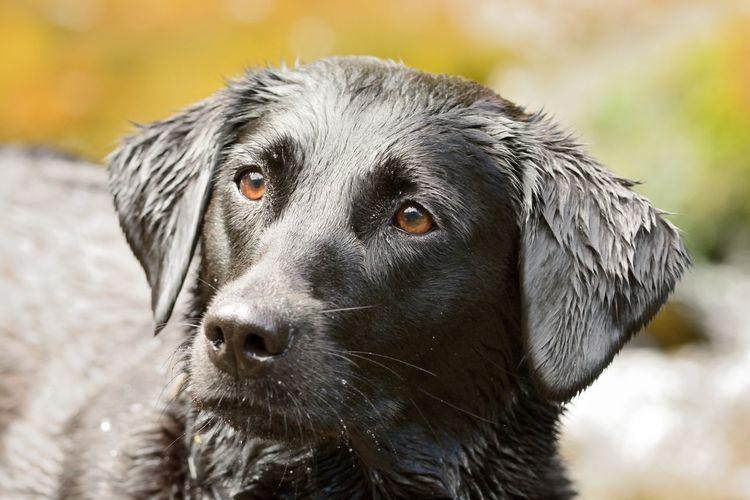 Close-up of wet black labrador looking away