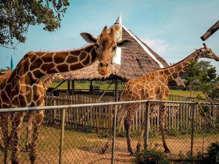 Look Coron, Palawan Travel BestofEyeEm Philippines Earth Tealandorange Vivid Tree Sky Giraffe Animal Neck Zoo Animal Markings Animal Pen Safari Animals Herbivorous Captivity Animals In Captivity