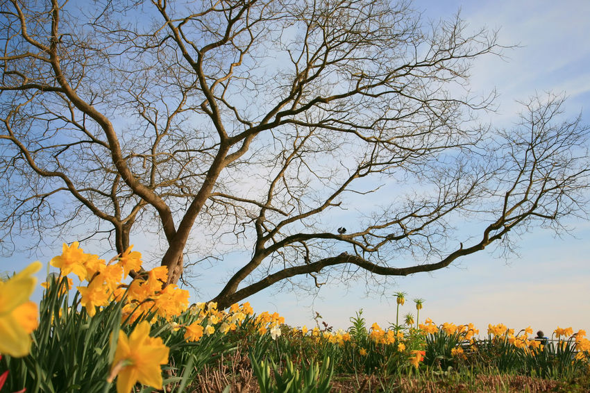 Springtime landscape with daffodils under a tree Bare Tree Beauty In Nature Branch Daffodil Day Field Flower Flower Head Freshness Growth Land Landscape Nature No People Outdoors Plant Scenics - Nature Sky Spring Springtime Tranquil Scene Tranquility Tree Yellow