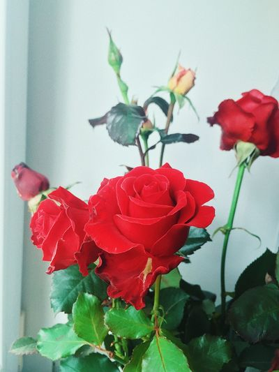 Flower Chelny Flower Flowering Plant Plant Beauty In Nature Fragility Close-up Vulnerability  Petal Growth Freshness Flower Head Inflorescence Nature Rose - Flower No People Rosé Plant Part Red Leaf Day