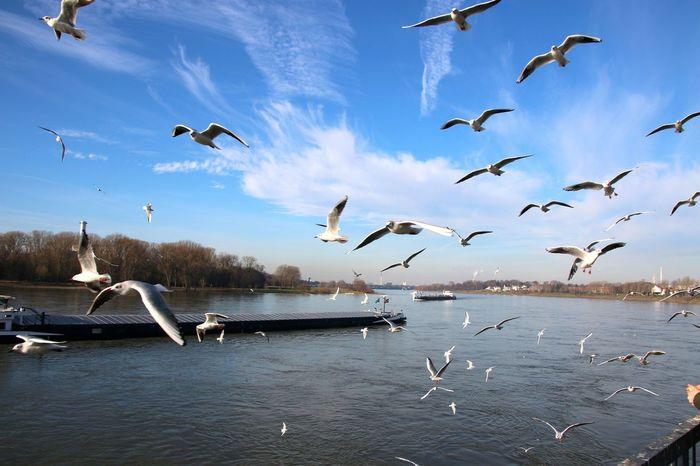 Small And Swift Landscapes With WhiteWall Möwen Möwenleckerbissen Möwe Schiff Rhein