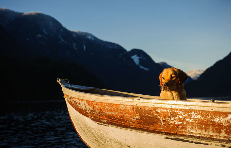 Labrador retriever in boat at sea against mountains during sunset