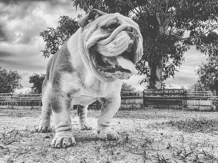 HogBoy Monochrome B&w Pet English Bulldog Bulldog Animal Animal Themes