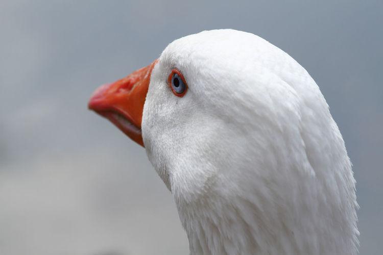 Detail of the head of a white goose, white plumage, orange beak and blue eyes