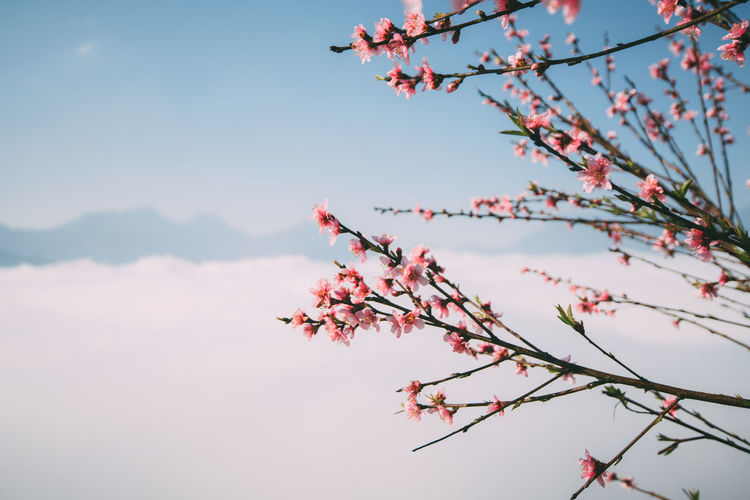Plant Tree Sky Beauty In Nature Branch Flower Growth Flowering Plant Nature Fragility Low Angle View Day No People Focus On Foreground Pink Color Vulnerability  Freshness Tranquility Plum Blossom Blossom Outdoors Springtime Cherry Blossom