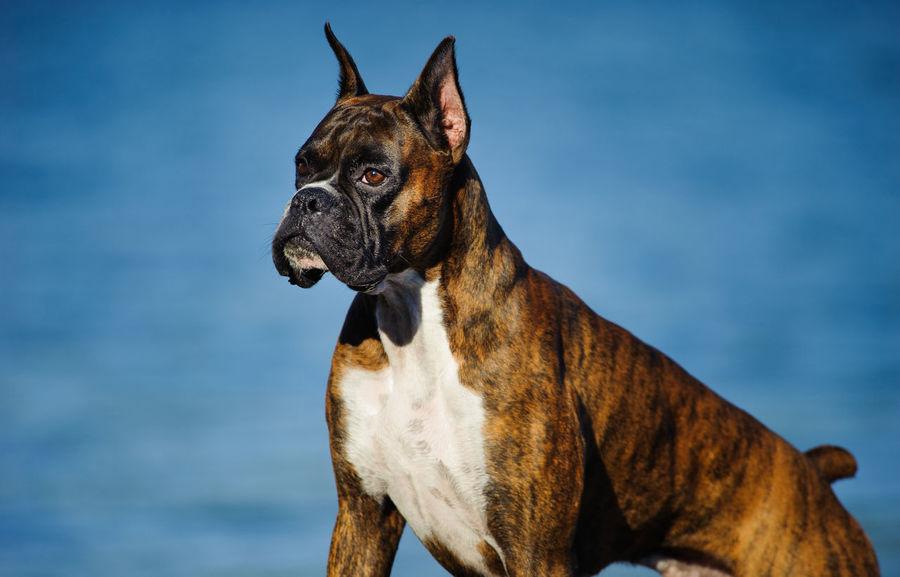 Boxer dog Animal Boxer, Brindle Brindle Boxer Brindle Dog Canine Cropped Ears Day Dog Domestic Animals No People Outdoors