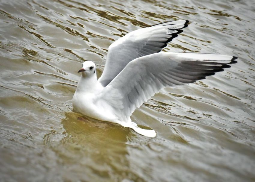 Showing off :) Birds On The River Thames Wings Fowl Seagull