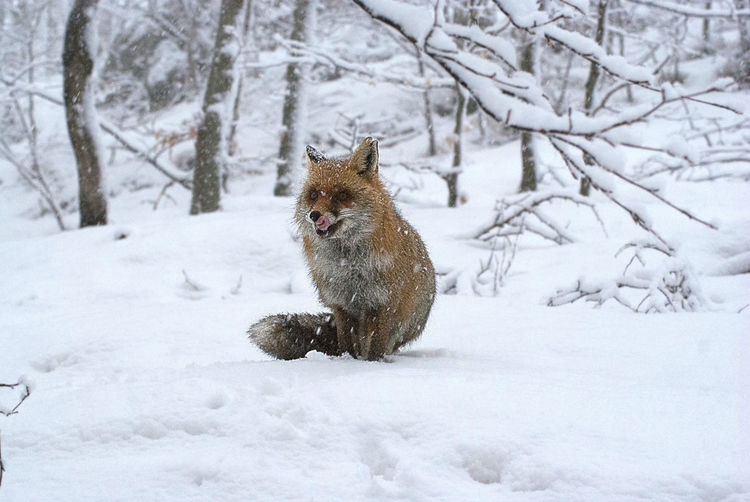 Fox sitting on snowy field during winter