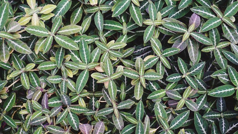 魚の 骨模様 の 葉っぱ … Leaf ロマンチック村 亜熱帯植物園 Nature