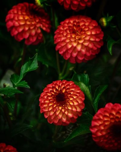Close-up Growth Freshness Red Beauty In Nature Inflorescence Petal Plant Part Leaf Day Nature High Angle View No People Focus On Foreground Flowering Plant Flower Plant Vulnerability  Fragility Flower Head