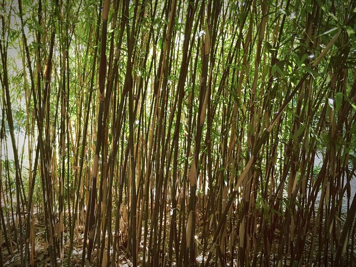 Check This Out My Favorite Place Mobilephotography EyeEm Nature Lover Beauty In Nature Nature Bamboo Growth Bamboo Grove Green Color Tranquility Peace And Quiet Non-urban Scene Abundance IPS2016Nature Vertical