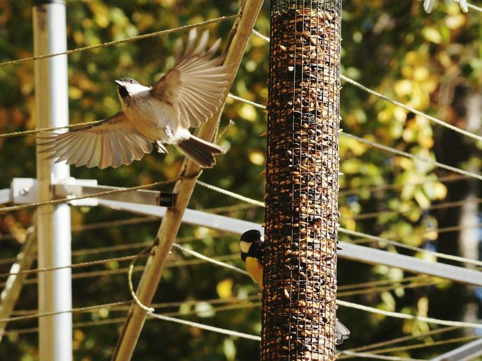 Great Titmouse Animals EyeEm Birds Swedish Nature Beauty In NatureAnimal Themes Great TitShowcase September 2016 September Niklas Sweden Björkvik Marsh Tit Dramatic Angles Capturing Movement Adapted To The City BYOPaper! The Week On EyeEm Perspectives On Nature