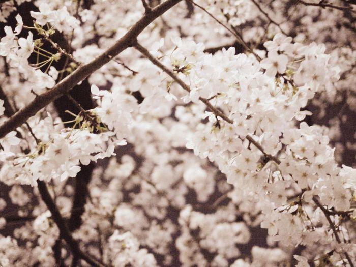2015/3/31 chidorigafuchi sakura Japan Cherry Blossoms Tokyo Sakura Yozakura Flower