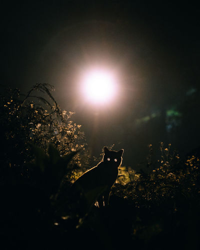 Animal Animal Themes Cat Domestic Domestic Animals Eerie Illuminated Lens Flare Mammal Mysterious Mystery Nature No People One Animal Outdoors Pets Plant Silhouette Sky Sun Sunlight Tree Vertebrate