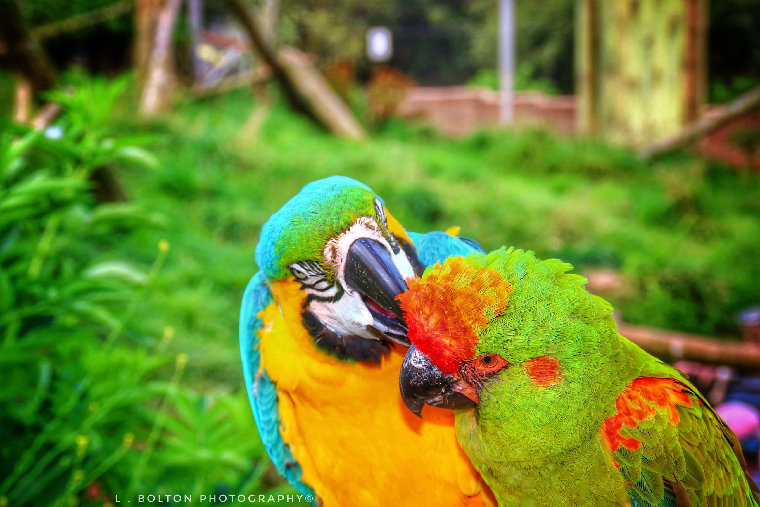 parrot, bird, vertebrate, animal themes, animal, animal wildlife, focus on foreground, animals in the wild, multi colored, day, group of animals, macaw, nature, no people, plant, close-up, green color, two animals, grass, outdoors, rainbow lorikeet