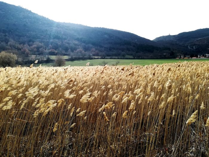 Flashes Phragmites Australis Country Scene Landscape Mountain Beauty In Nature Reeds In The Wind The Marsh Reeds Swamp Mountain Rural Scene Tree Agriculture Farm Sky