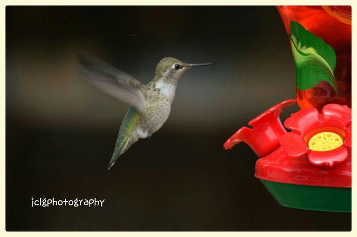 Bird Photography Hummingbird Humming Bird the beauty of God Watching Humming Birds Animal_collection