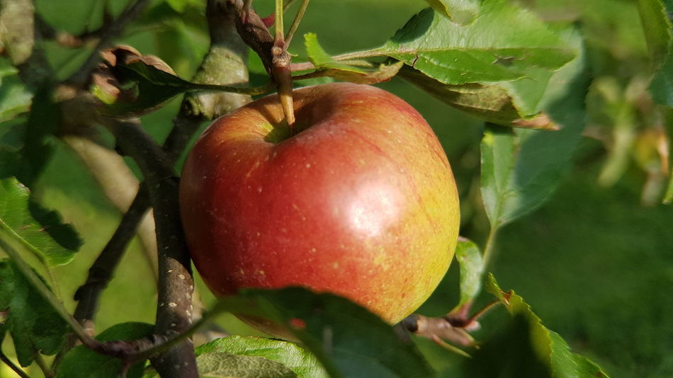 Fruit Healthy Eating Food And Drink Freshness Food Leaf Apple - Fruit Green Color Agriculture No People Close-up Day Tree Growth Red Outdoors Nature Healthy Lifestyle Pomegranate apple