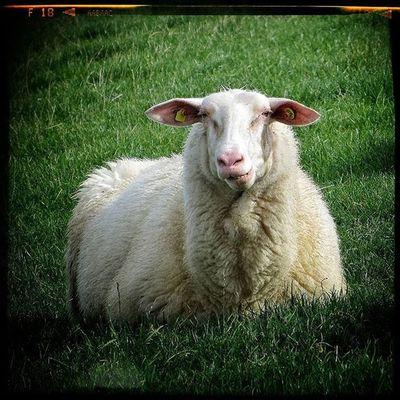 Sheep Schaf  Deich  Olympus Oly EM1 Nordsee Animal Animalofinstagram Snapseed