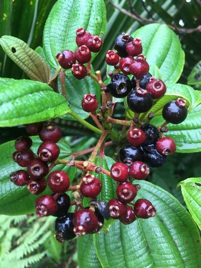 Agriculture Close-up Day Food Food And Drink Freshness Fruit Green Color Growth Healthy Eating Leaf Nature No People Outdoors Plant Red Tree