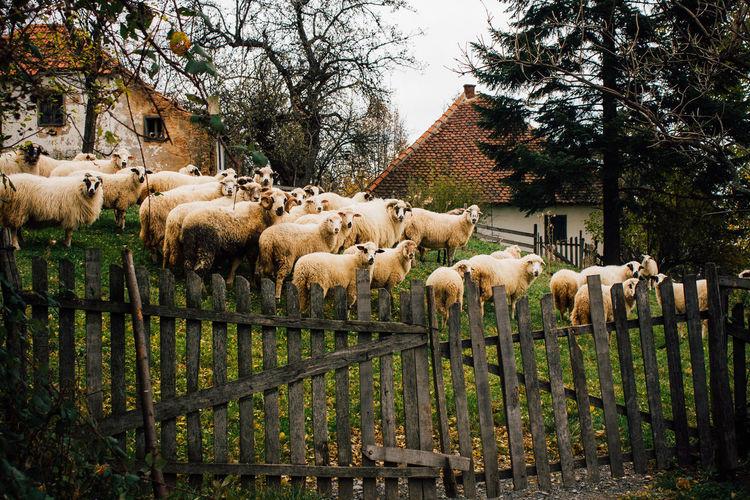 Sheep on tree