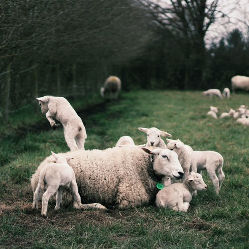 Sheep Grazing With Lambs On Field