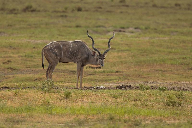 Antelope standing on grassy land