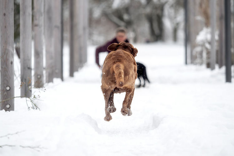 A red-brown Labrador Retriever in the snow Animal Breed Cold Cute Dog Domestic Family Friend Fur Happy Ice Labrador Labrador Retriever Nature Obedient Dog Outside Pet Playful Purebred Retriever Season  Snow White Winter Canine Pets Domestic Animals Vertebrate Cold Temperature Mammal Animal Themes One Animal Day White Color Rear View Covering Field Outdoors Extreme Weather Snowing Warm Clothing