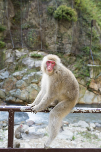 At Jigokudani Monkey Park in Nagano prefecture visitors walk into the Japanese Macaques territory. The monkeys mind their own business and don't seem to care much about the humans staring and taking photos of them. Because of that you can get really close to these wonderful animals. Animals In The Wild Chilling Eye Contact Japan Monkeys Animals Animals In Captivity Chillin Japanese Macaque Macaque Macaque Monkey Monkey Nagano No People Outdoors Staring At Me The Great Outdoors - 2018 EyeEm Awards