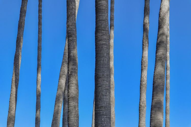 Palm tree trunks on blue sky abstract nature Blue Sky Day Low Angle View No People Nature Clear Sky Pattern Sunlight Outdoors Tranquility Tall - High Trunk Side By Side Tranquil Scene Tree Trunk Tree Trunks Palm Trees