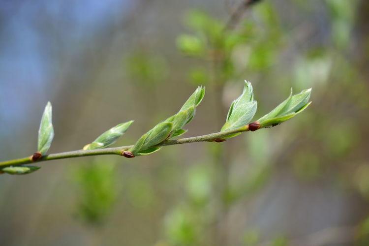 Growth Plant Focus On Foreground Green Color Plant Part Leaf Close-up Nature Beauty In Nature Day No People Outdoors Plant Stem Beginnings Tree Freshness Tranquility Twig Branch Selective Focus Leaves