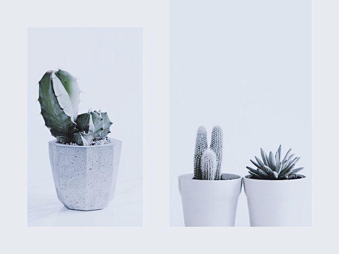 Cactuslover Succulent Plant Succulents Cactus Flower Cactus Nature SucculentsLover Flower Plant Indoors  Leaf White Background Cactus