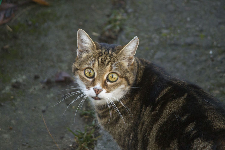 Cat Animal Themes Pets Domestic Animals Domestic Animal Feline Mammal One Animal Domestic Cat Vertebrate Portrait Whisker Looking At Camera Focus On Foreground Day High Angle View Looking No People Tabby Animal Eye Animal Head  Yellow Eyes