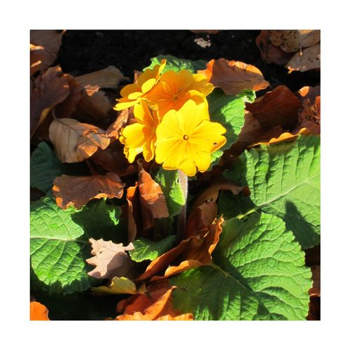 Autumn sunshine Leaf No People Sunlight Close-up Day Autumn Outdoors Nature Autumn🍁🍁🍁 Chorley Lancashire Astley Park Lovelancashire Beauty In Nature Plant Sunlight Growth Green Color Freshness Yellow Gold